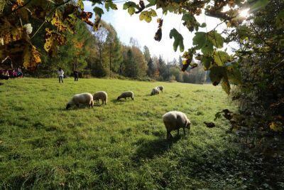 Jak se pasou ovce