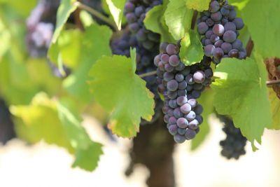 Víno a vinice